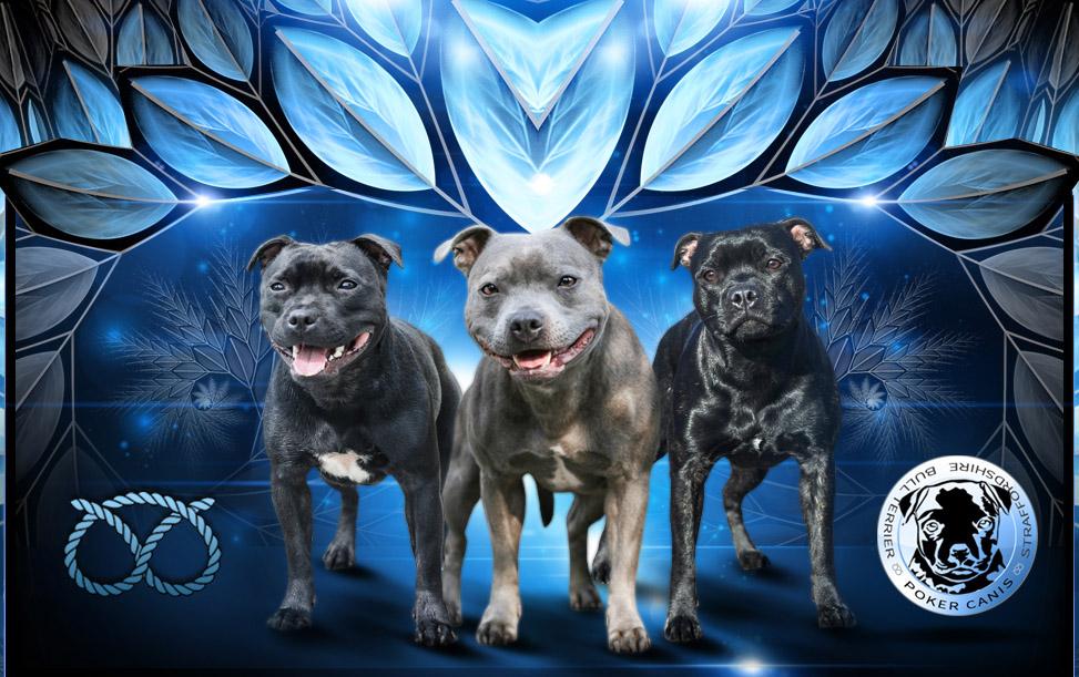 Staffordshire Bull Terrier Poker Canis Stafordsirsky Bulterier